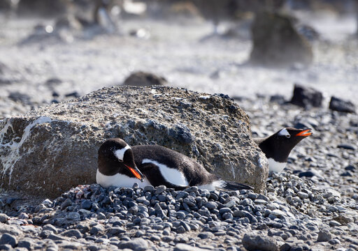 Gentoo penguin lying on it's nest with a pebble in it's beak.