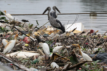 Birds search for food on waste collected by a log boom on a river during World Environment Day, in Klang