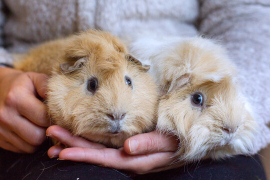 Two years old red Abyssinian Guinea pig and long hair peruvian guinea pig white and gold in the hands of their owner both pets looking at camera.