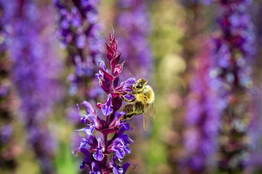 Biene im heimischen Garten