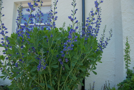Summer Flowering Violet Blue False Indigo Plant (Baptista australis) Growing by a House in a Garden in Rural Devon, England, UK