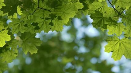 Wall Mural - Maple green leaves background. Grenn fresh leaves on the wind. Blurred bokeh background. Summer nature concept. 4K