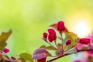 Red flower bud on a branch of a tree with green background