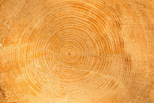 Close up of a tree trunk section with its annual rings.