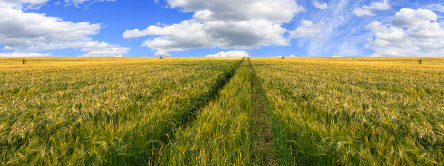 Fototapete - Scenic view of grain field and bright blue sky with cumulus. Rural summer landscape. Beauty nature, agriculture and seasonal harvest time. Panoramic banner.
