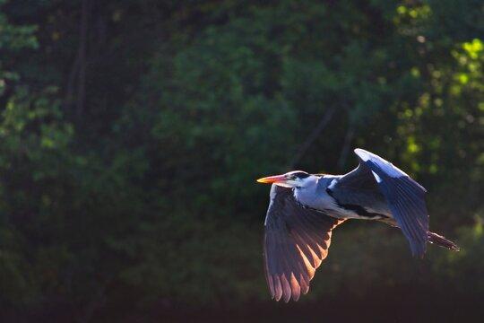 London / UK - May 26 2020: Grey Heron flying towards its nest