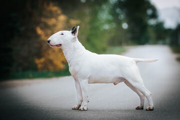 Aluminium Prints Roe Bull terrier show dog posing outside. Beautiful young bull type dog.