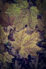 Close Up of Maple Leaves in the Forest in Autumn – Vintage Style. Texture Background.
