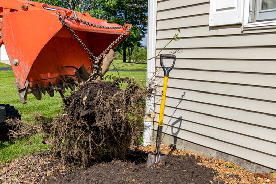 Tractor pulling root ball of bush or shrub out of ground. Concept of landscaping design, work, lawn care and maintenance