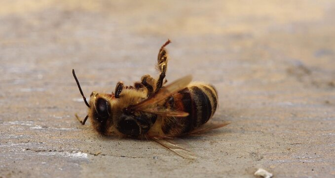 The bee is dying. A dead bee macro. The death of honey bees and environmental pollution by pesticides: The honey bees as biological indicators. Beekeeping (or apiculture). Bee colony in hive