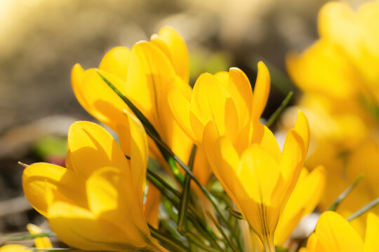 Fresh flowers of yellow crocus in spring.