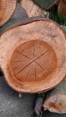 Fototapeta Kłoda ściętego w lesie drzewa z widocznymi słojami i pęknięciami obraz