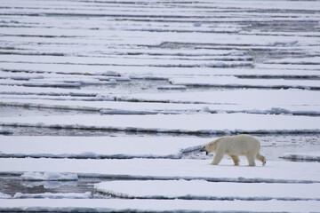 Deurstickers Ijsbeer Polar bear walking on the melting sea ice in the Arctic, Spitsbergen.