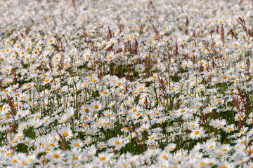 Wall Murals Daisies field of poppy flowers