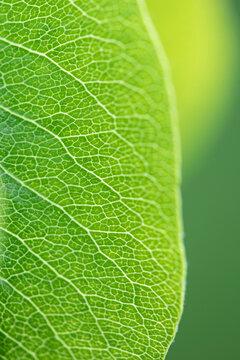 Macro view of a pear leaf.