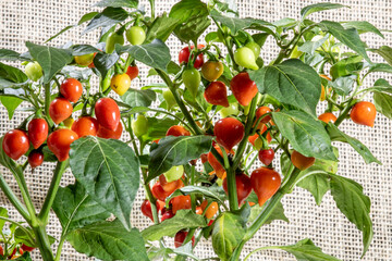 Fruit of Biquinho Pepper on tree. This is a typical pepper from Brazil