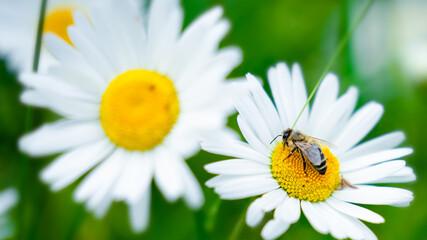 Biene bei der Arbeit Fotoväggar
