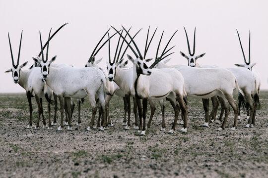 Herd of wild Arabian Oryx in the Dubai desert in black and white