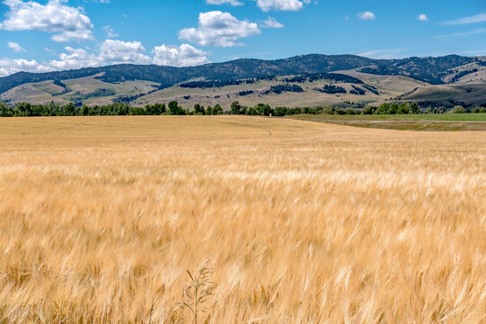 wheat field ready for harvest in montana mountains