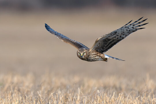 Northern Harrier (Circus cyaneus). Hen Harrier or Northern Harrier is long-winged, long-tailed hawk of open grassland and marshes.