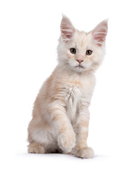 Wall Mural - Sweet red shaded Maine Coon cat kitten, sitting up facing front. Looking straight at camera with droopy eyes. Isolated on white background.  One paw playful up.