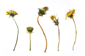 Zelfklevend Fotobehang Bloemen vrouw Herbarium of beautiful bushes of flowers and plants. Green leaves and yellow flowers on a white background. Dandelion.