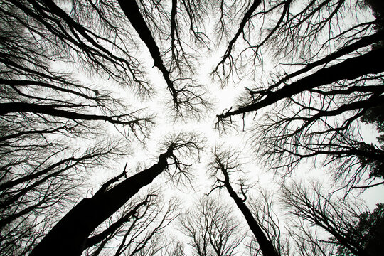 Looking up at spooky trees in dark woodlands. Monochrome dramatic horror movie type scene