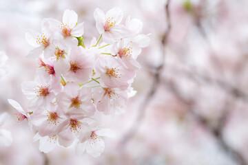 Papiers peints Fleur de cerisier Fleurs de cerisier japonais