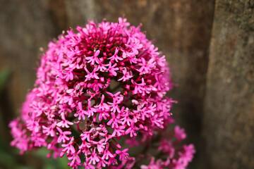 Wild pink English flower