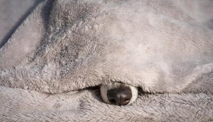 süsse Hundeschauze unter eine kuschligen Decke