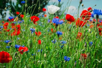 Piękna polana z polnymi kwiatami