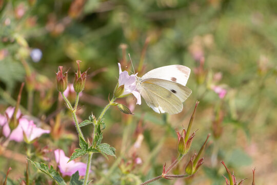 Cabbage white butterfly pollinating a flower in Brittany