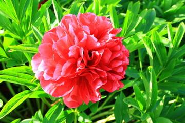 Obraz Czerwony kwiat piwonii lekarskiej (paeonia officinalis) - fototapety do salonu