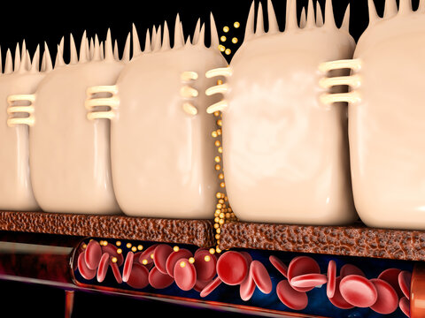 3d Rendering of leaky gut, in intestine with celiac disease and gluten sensitivity these tight junctions come apart.