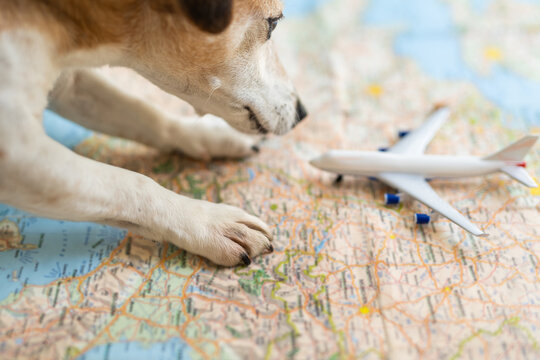 tourist dog Jack russell terrier planning airplane flight uses the map of europe. searching preparation for vacation profitable route for journey. Table with blurred map, curious puppy checking plane