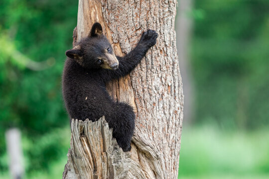 Young American Black Bear climbing the tree