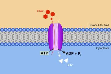 Illustration of how sodium-potassium pump works.