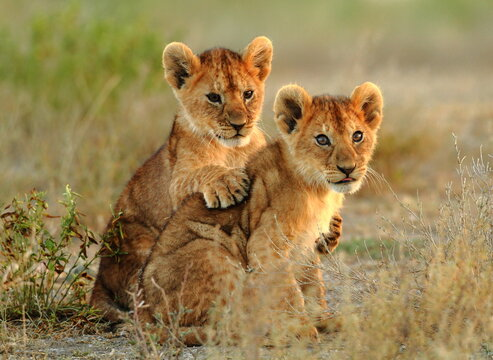 lion cub in the savannah