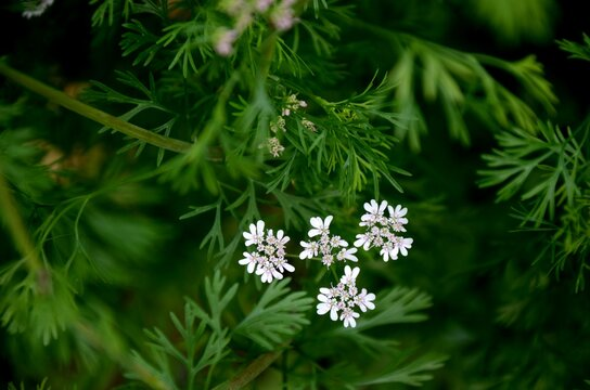 cilantro bloom on a background of blured green leaves, cilantro spice growing in the soil in the garden on a farm.