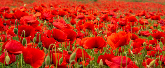 Obraz field with poppy flowers in selective focus - fototapety do salonu