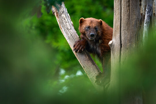 Wolverine on the tree trunk. Detail portrait of wild wolverine. Danger animal in Finland taiga. Mammal animal in the forest. Raptor in the green forest nature. Wildlife Europe.
