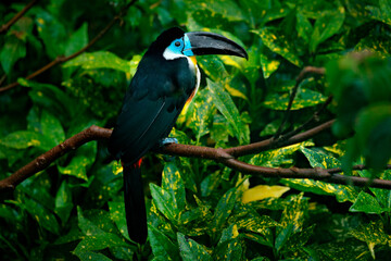 Wall Mural - Channel-billed Toucan, Ramphastos vitellinus, sitting on the branch in tropical green jungle, Brazil. Detail portrait of toucan. Birdwatching in South America. Blue toucan in green vegetation.