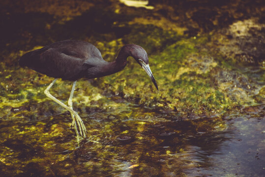 Beautiful black heron walking on mossy rocks, surrounded by clear blue water of a Mexican river, Xel-ha