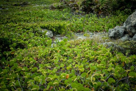 Tropical green plants over the rocks, beach foliage