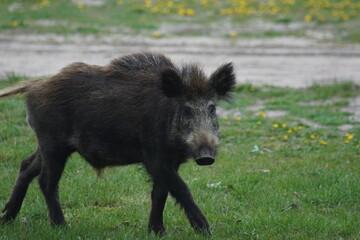 Fototapeta Dzik ,dzika świnia ,młode dziki ,dzikie zwieżęta obraz