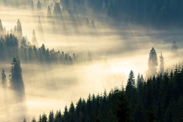 Wall Murals Morning with fog mist among the forest. spruce trees in the valley full of glowing fog. fantastic nature scenery in mountains at sunrise. view from above