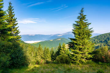 Wall Mural - .spruce trees on the meadow in mountains. beautiful sunny landscape with distant in highlands. amazing morning scenery. fluffy clouds on the blue sky