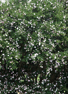 Beautiful pink and white Camellia flowers surrounded by green leaves