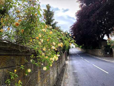 Country road, with roses and a large copper beech tree in, Lothersdale, Keighley, UK