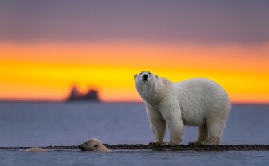 Selective focus shot of a polar bear at sunset